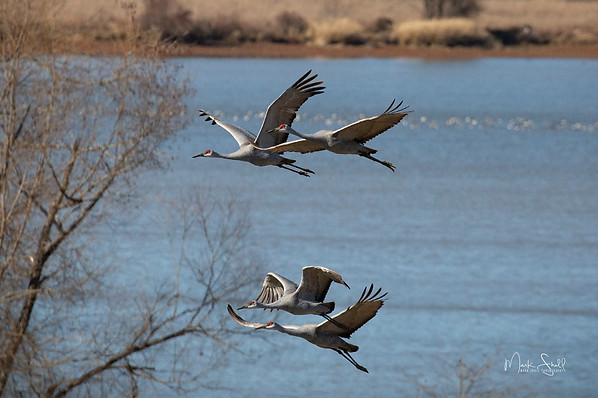 Beautiful Flying Sandhill Cranes