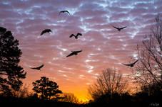 sand hill crane sunset landing
