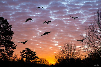 sand hill crane sunset landing