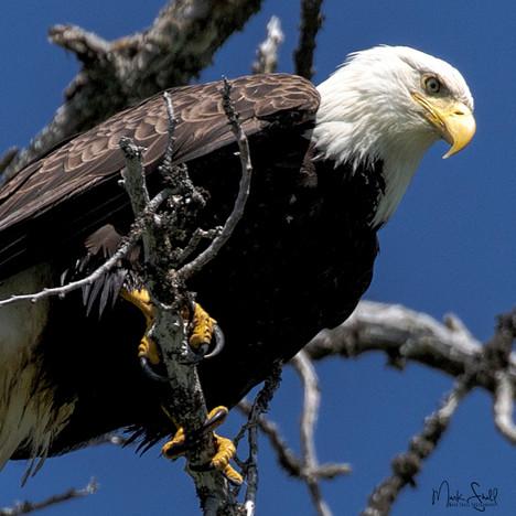 Bald Eagle dramatic crop.jpg