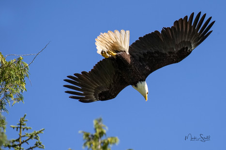Bald Eagle going fishing.jpg