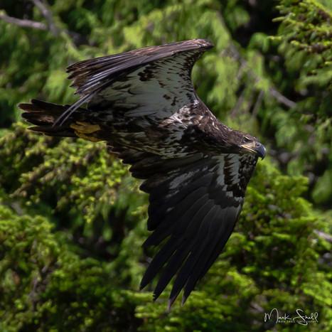 Bald Eagle juvenile flight.jpg