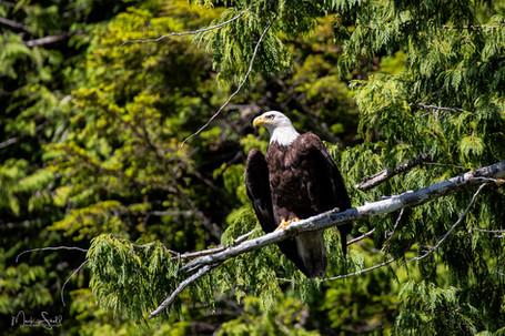 Bald Eagle nice limb.jpg