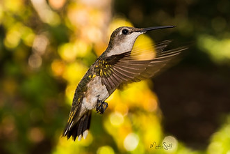 Hummingbird Juvenile forward