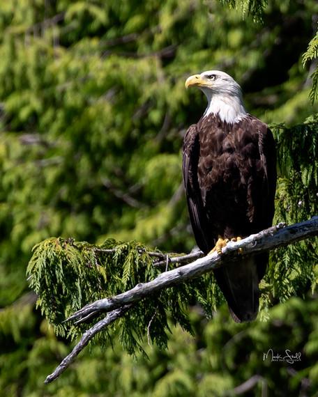 Bald Eagle Ketchikan crop.jpg