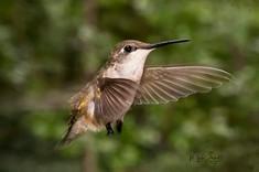 hummingbird juvenile approach