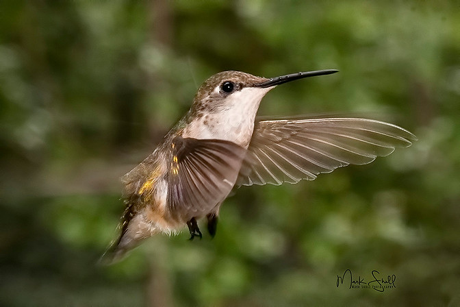 hummingbird juvenile approach
