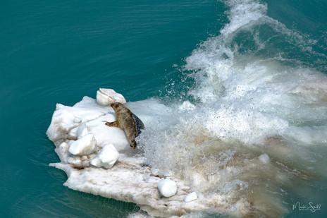 Seal splash berg