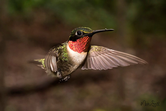 hummingbird male