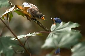 blue bird feeding