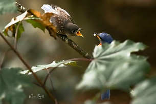 blue bird feeding