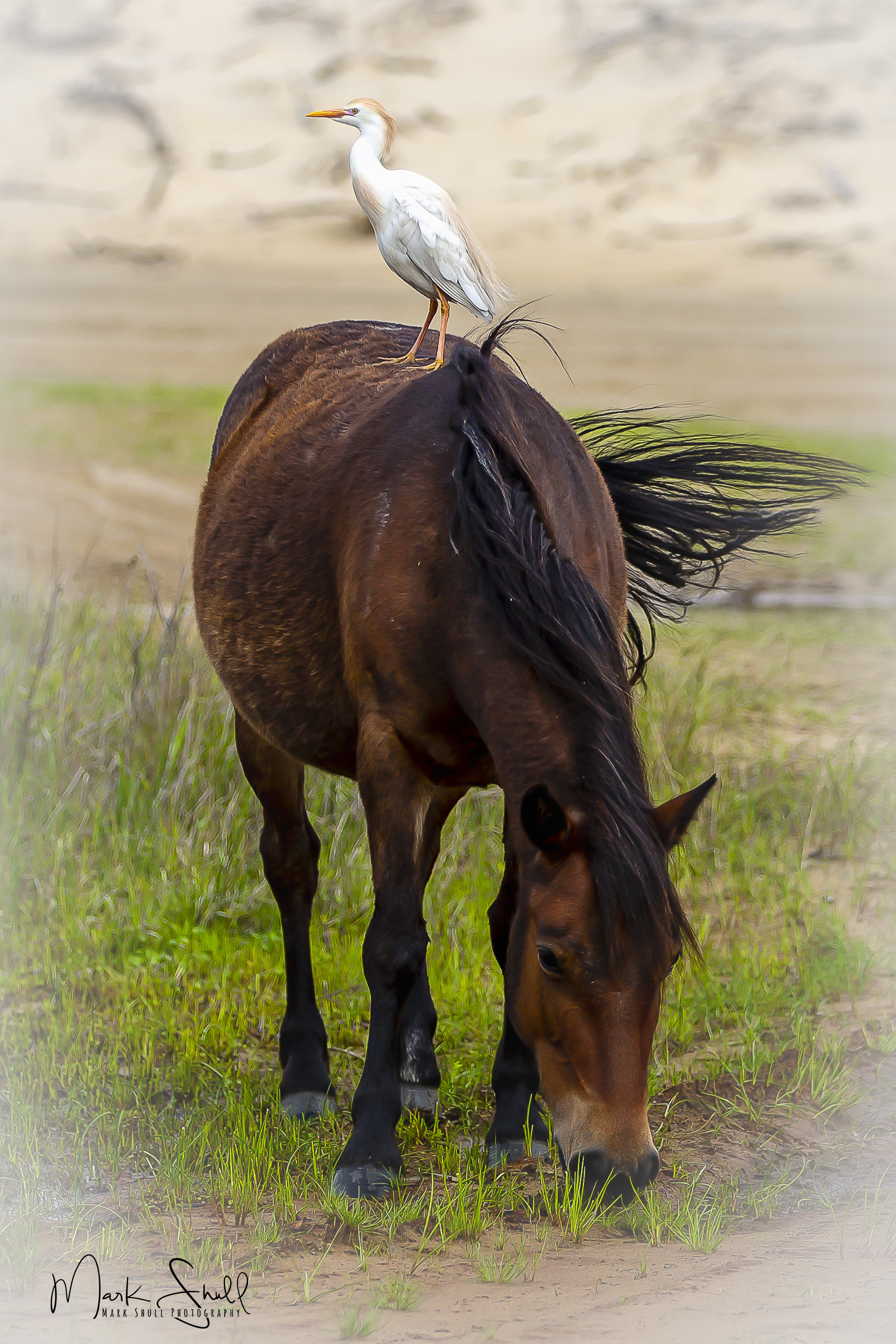 Corolla mustang egret