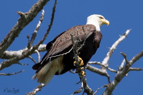 Bald Eagle scouting.jpg