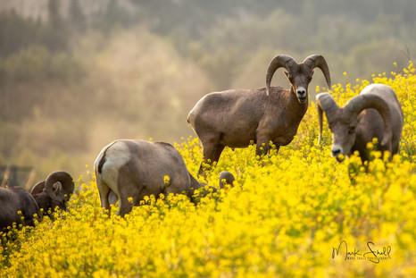 A Herd Of Rams