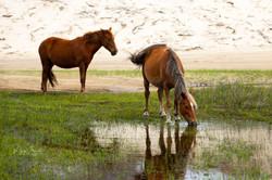 Corolla stallion & mare horses post