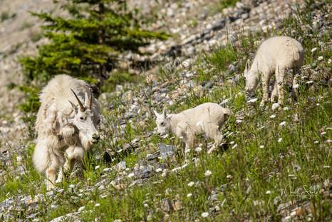 Rockie Mountain Goats mom and kids