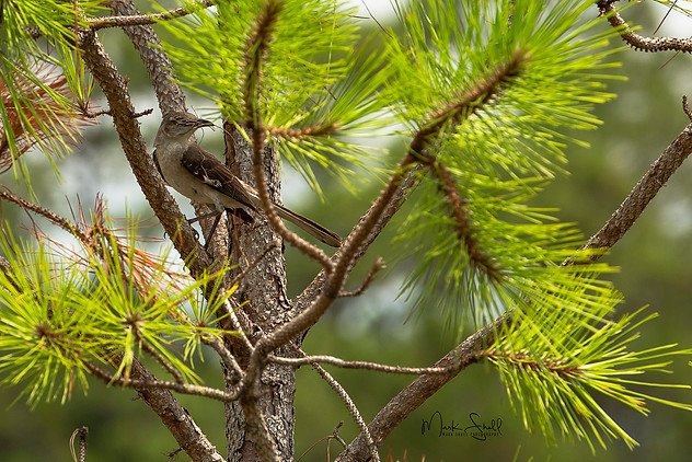 poised in pine