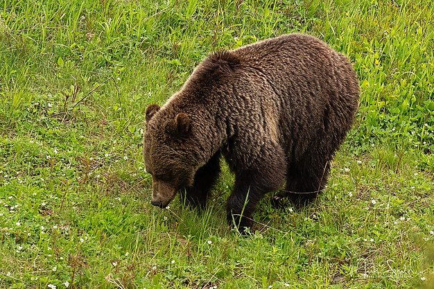 Grizzly Mom in Field