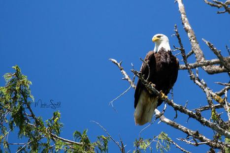 Bald Eagle searching.jpg