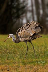 Sandhill Crane fluff feathers