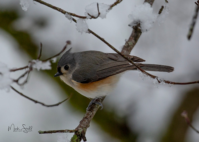 Titmouse Winter Snow