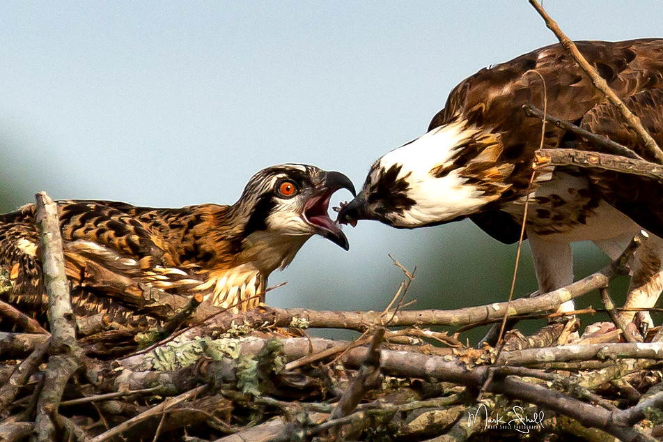 Osprey spoon feed