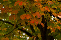 Fall Red Maple post