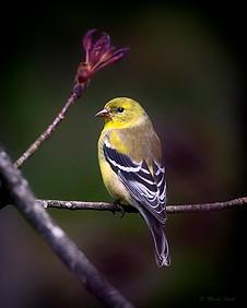 American Goldfinch profile