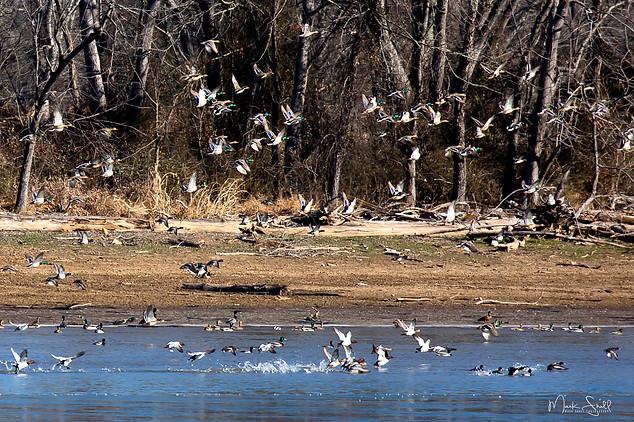 duck flock in flight