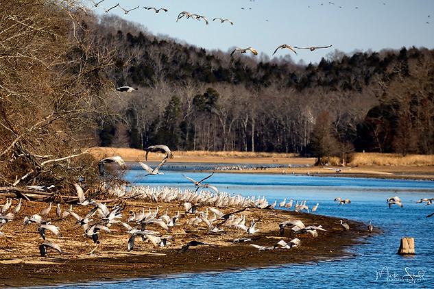 Sandhill Cranes riverbend