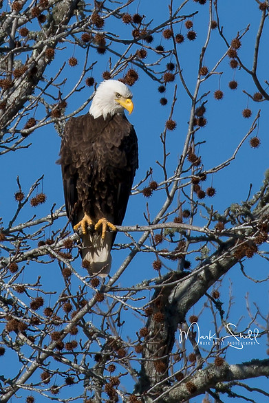 Bird Bald Eagle adult rt