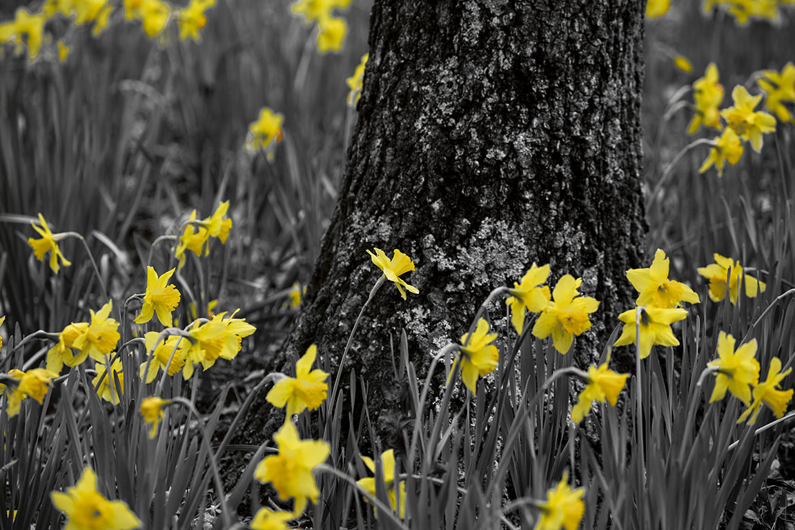 Gibbs daffodil yellow bw2 post 030818