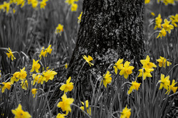 Gibbs daffodil yellow bw2 post 030818