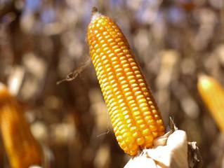 Expectativa de aumento nas exportações pode elevar preço do milho no mercado interno