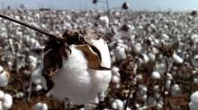 Feijão e algodão são hospedeiros da Soja Louca II
