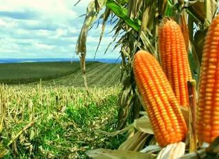 Quebra do milho argentino beneficia exportadores no Brasil