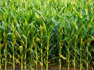 É viável produzir etanol de milho no Brasil?