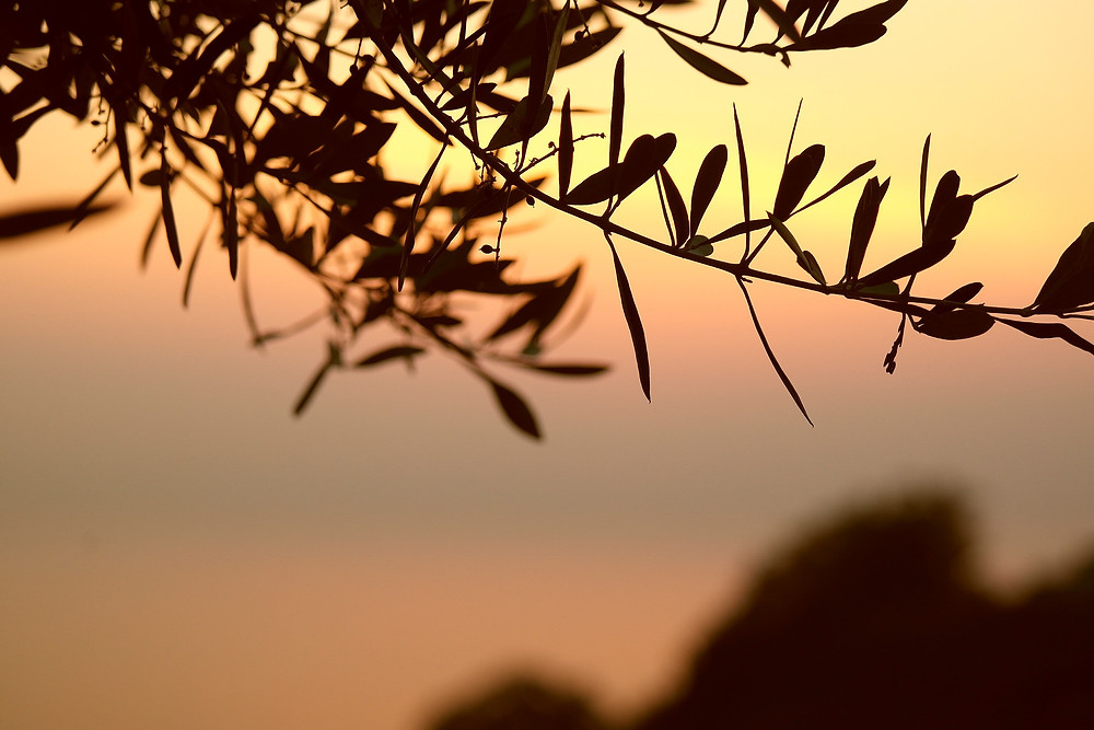https://pixabay.com/photos/olive-tree-branch-sunset-leaves-667428/