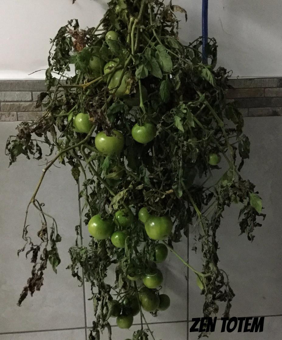 branches de tomates vertes suspendues