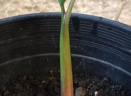 La culture du taro en pot à partir d'un morceau de tubercule