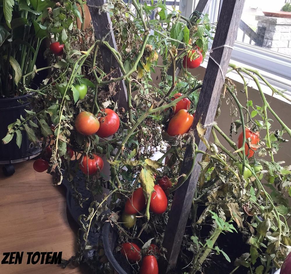 plan de tomate en pot dans la maison