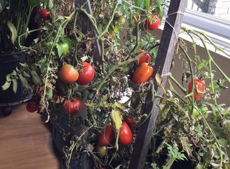 3 méthodes pour faire mûrir les tomates vertes dans la maison