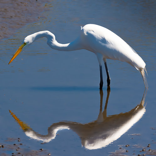The Hungry Egret