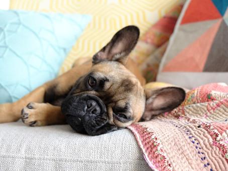 """Las razas de perro más """"aconsejadas"""" para pisos pequeños"""
