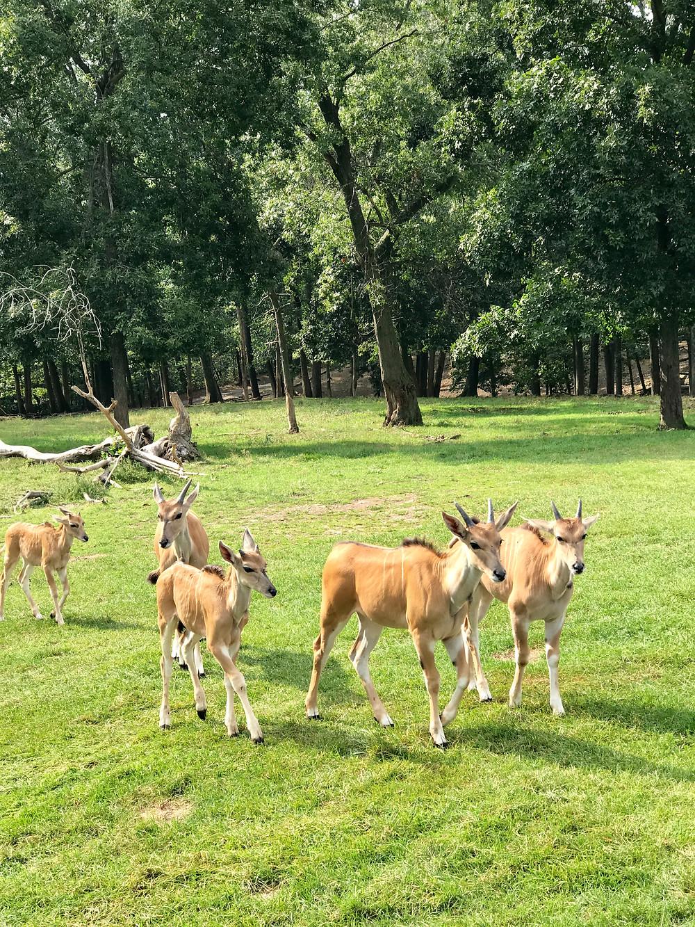 Lake Tobias Wildlife Park, safari, humane zoo, Pennsylvania with kids, Curious G and Me, wildlife with kids, zedonk, elk, albino buffalo, antelope squad