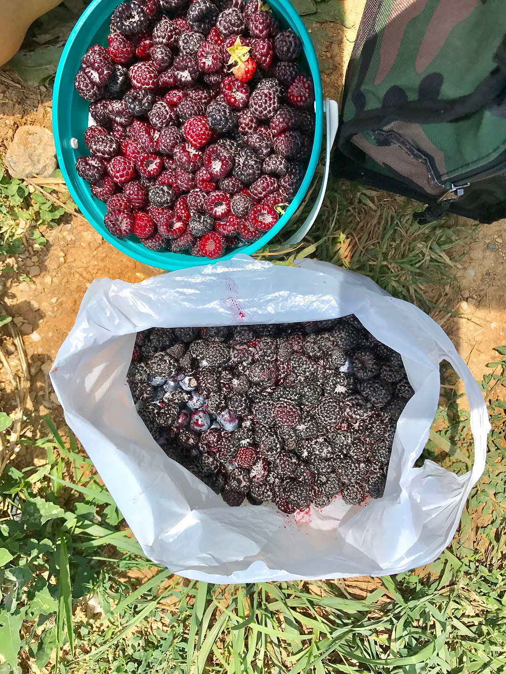 Jamberry, berry picking, Pennsylavania orchard, Strite's Orchards, Curious G and Me