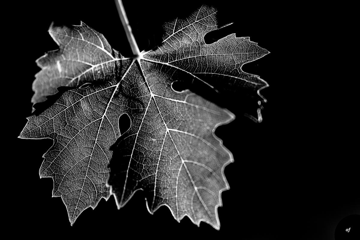 foglia vigne