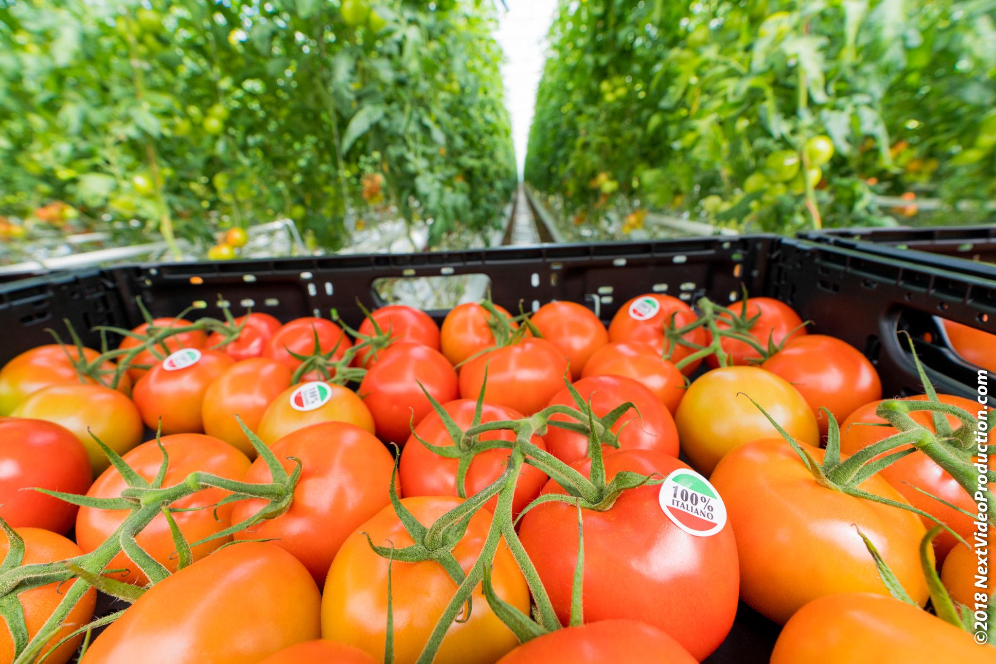 Serra di pomodori Fresh Guru