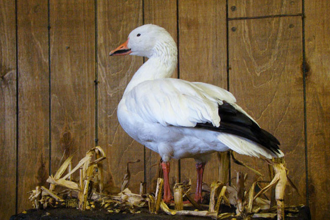 Example of a taxidermy snow goose.