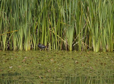 Emergent Aquatic Vegetation